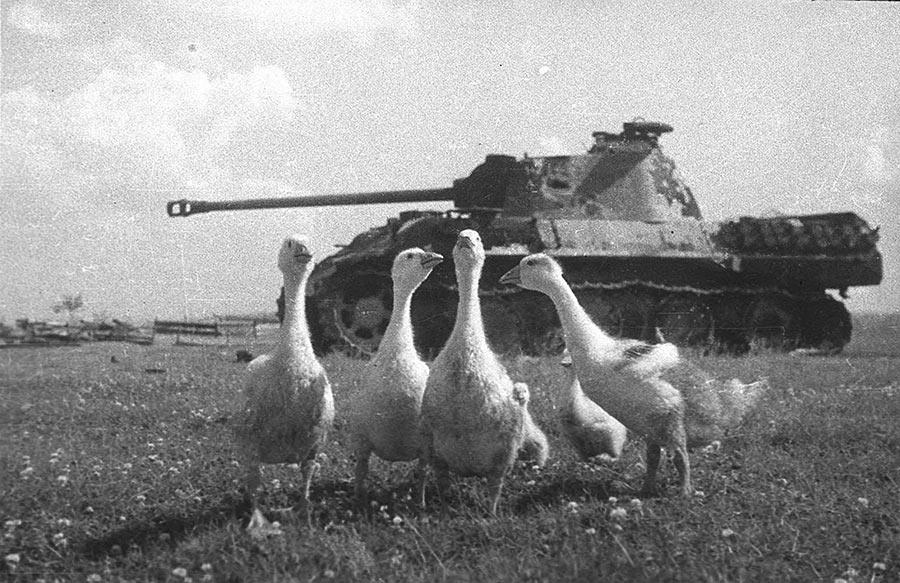 Подбитая «Пантера» (Pz.V), 1944 г, Беларусь, фотография Михаила Савина. Танк судя по всему не подбит, а брошен экипажем после того как закончилось горючее или произошла поломка. Если на фотографиях 1941 года дороги были забиты брошенными советскими танками, то к 1944 году ситуация поменялась на обратную.