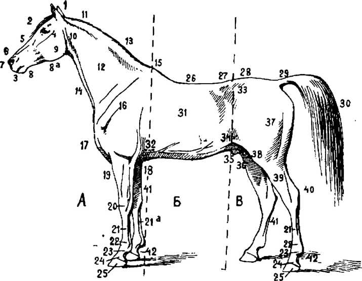 Строение лошади